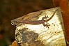 Hemiphyllodactylus typus (ach_gecko) Tags: ocean reunion indian vert lizard gecko chameleon phelsuma lezart borbonica inexpectata