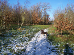 Benjy (billnbenj) Tags: dog snow cumbria spaniel springerspaniel snowfall barrow benjy