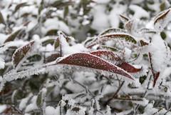 Il rosso non andrebbe servito freddo!! (ziggiotti ivano (Ziggy Stardust)) Tags: gelo brina foglia rosso freddo ghiaccio galaverna nandinadomestica incerno
