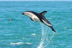 RtW2009 203 Dusky Dolphins - Kaikoura Dolphin Encounter (mothclark62) Tags: newzealand wildlife southisland kaikoura duskydolphin dolphinencounter