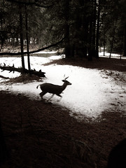 .................... (comfies) Tags: yosemite muledeer newyearsday2010