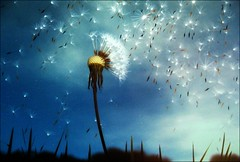 [フリー画像] 花・植物, キク科, タンポポ, 種子, 201007241300