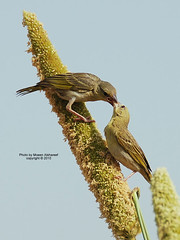 Kiss (CLICK GROUP   Moeen) Tags: nature birds nikon saudiarabia  d90 jazan gizan        thewonderfulworldofbirds