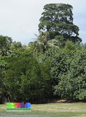 Tall Pulai tree (Alstonia angustifolia)