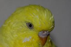 Wellensittich Portrait (sralf72) Tags: portrait detail macro yellow canon gelb budgerigar budgie nah dslr makro nahaufnahme 2010 wellensittich sittich melopsittacusundulatus sittiche 40d ef180mm eos40d parakett ef180mmf35lmacrousm sralf72