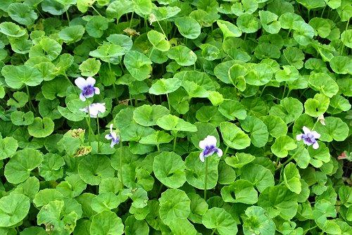 Viola hederacea (rq) - 03
