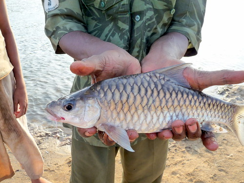 Mahseer we caught from the Cauvery