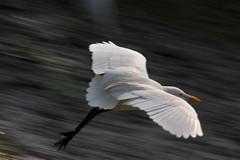 egret (TARIQ HAMEED SULEMANI) Tags: nature birds canon flying egret tariq 50d supershot mywinners abigfave flickrdiamond theunforgettablepictures concordians sulemani