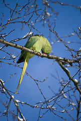 Parakeet the snow in Oosterpark, Amsterdam (TwitterChristel) Tags: park blue winter snow cold holland tree cute green bird colors dutch amsterdam colorful groen blauw colours sneeuw nederland thenetherlands parrot bluesky boom grooming exotic kawaii parakeet surprise colourful parc vogel noordholland kleurrijk surprising oosterpark koud parkiet papegaai exotisch schattig verrassing kleurig blauwelucht verrassend