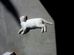 Sunbath (elena sin h2005) Tags: cats sol animals gatos sunbath animales mascotas albus trikinhuelas baodesol