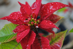 Fire and Water - HBW!!! (maorlando - God keeps me as I lean on Him!!) Tags: flowers winter red usa macro green nature texas bokeh poinsettia houston creation raindrops blooms waterdroplets