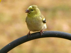 "IMG_8225 (Claire DeLand ~ ""GA Music Maker"") Tags: birds earlyafternoon g9 gbbc birdiebuffet winter2010 carnesvillega valentinesday2010 backyardbirds2010 february142010 greatbackyardbirdcount2010"
