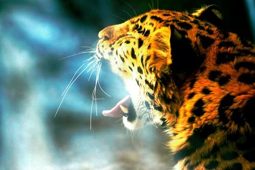 big cat yawn