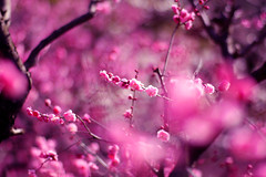 Plum blossoms in bokeh (Marie Eve K.A. (Away)) Tags: park flower nature canon dof bokeh plum plumtree japaneseplum planar earlyspring  plumblossoms  pinkred carlzeiss naturesfinest  1485mm naturethroughthelens
