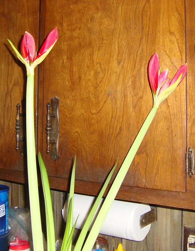 Amaryllis on Feb 9, 2010