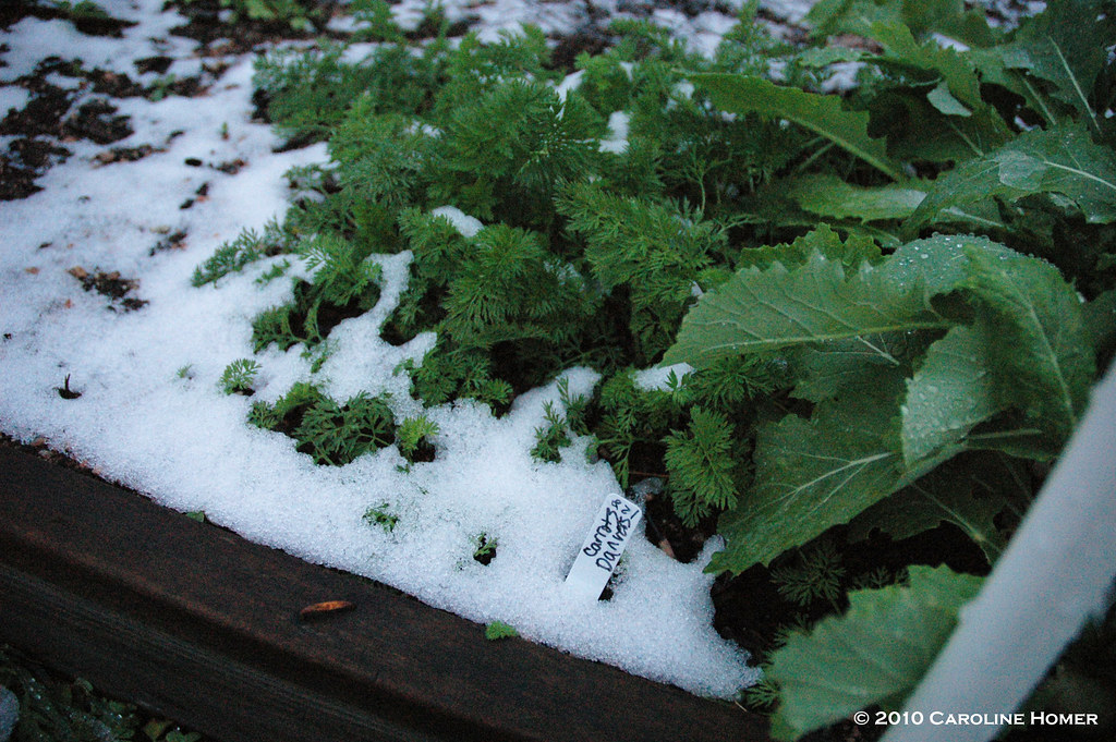 Carrots & turnips in snow