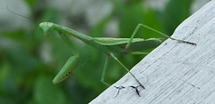 Just Hanging Out (kathybeth1970) Tags: mantis insect praying