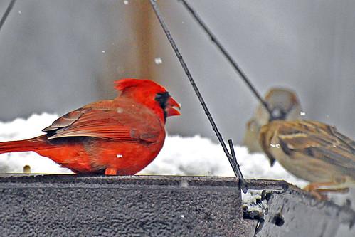 cardinal fight