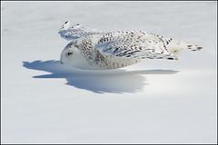 Owl (Snowy) - 1828 (Earl Reinink) Tags: flight raptor snowyowl snowyowlinflight earlreinink wwwearlreininkcom wwwipaintca