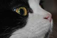 Occhi di gatta....... (rosarosetta56) Tags: pelo musci gatta fusa baffi excellentshot ronfare concordians biancanera catnipaddicts virgiliocompany