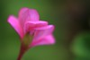 touch (helen sotiriadis) Tags: pink flower macro green closeup canon back spring soft published dof bokeh touch depthoffield canonef100mmf28macrousm canoneos40d toomanytribbles updatecollection