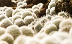 White Minis (Bosquet) Tags: cactus plants green digital cacti garden photography photo flora rocks desert image thorns dslr needles 80 d80 huntingtonlibraryandgardens nikond80
