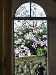 2010 sakura。淡水天元宮櫻花