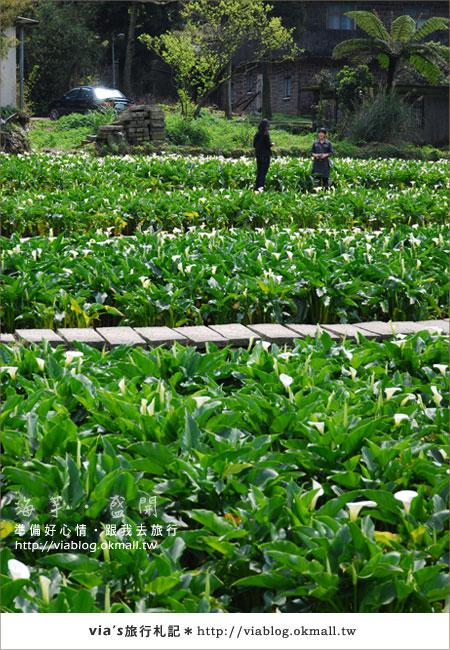 【2010竹子湖海芋季】陽明山竹子湖海芋季~海芋盛開囉!7