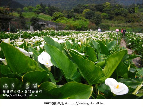 【2010竹子湖海芋季】陽明山竹子湖海芋季~海芋盛開囉!8