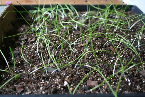 Leek seedlings - 3 weeks