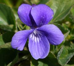 dog violet - viola adunca