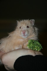 Maxie and his Broccoli (Ninithedreamer) Tags: bear boy pet max silly male love animal hair naughty golden rodent crazy friend soft long teddy fuzzy longhair cream nini special hamster devil sweetheart companion loved syrian nehama 'long ninithedreamer hair' 'teddy bear' ericsbroccoli