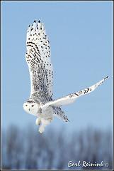 Owl (Snowy) - 2416 (Earl Reinink) Tags: flight raptor snowyowl snowyowlinflight earlreinink wwwearlreininkcom wwwipaintca