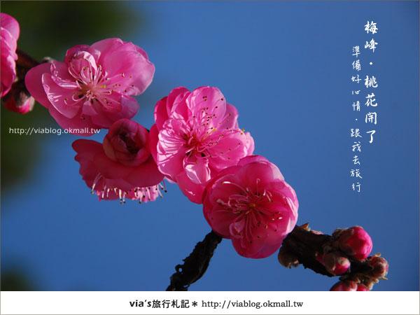 【梅峰農場桃花緣】最美的桃花隧道,就在南投梅峰這裡~(上)5