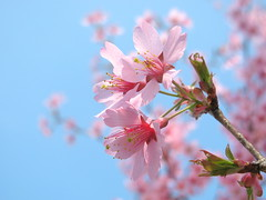 Blossom Time! (Kurlylox1) Tags: pink blur tree bokeh branches blossoms stamens stems cherryblossoms delicate pinkclouds blooming appleblossoms fantasticflower