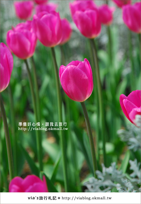 【梅峰農場】不止桃花美!梅峰農場賞花趣~(下)15