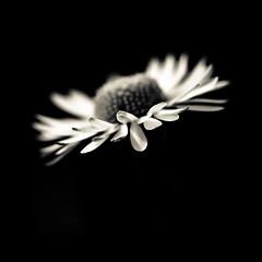 simple beaut (FREDBOUAINE ) Tags: bw macro nature fleur beauty noiretblanc lumire beaut enjoy paquerette aficionados 500x500 k10d aucarr goldenart carrfranais pentaxart secherie tamron90mm25adaptall2forpentaxk 100000vuesmerci