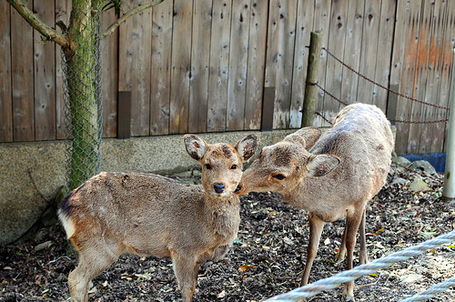 Mother and child deers Nara