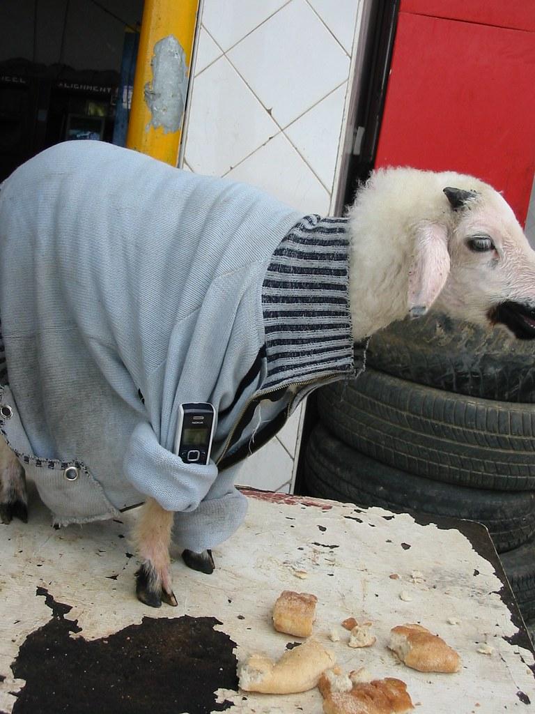 La chèvre de Fnideq