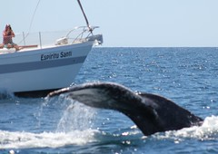 (jkBorys) Tags: cabo landsend fin calf humpbackwhale breaching fluke cabosanlucas