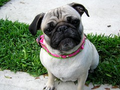 DSCN2226 (amanda.a.harkins) Tags: pink blue dog playing black hot male green grass car female puppy outdoors chains eyes bars mess feather pug chain indoors prison fawn tired jail fancy zebra collar pugs scottie houndstooth