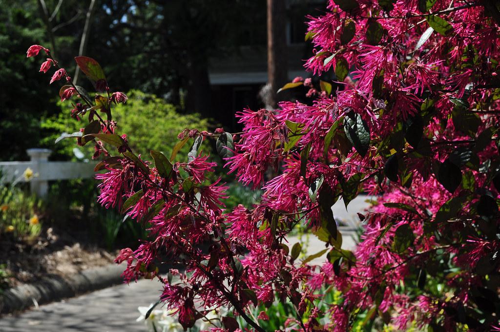 Loropetalum chinense var. rubrum 'Zhuzhou Fuchsia'