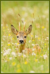 Dandy (hvhe1) Tags: flowers nature field animal relax bravo wildlife interestingness1 meadow dandelion deer explore buck roedeer specanimal hvhe1 hennievanheerden