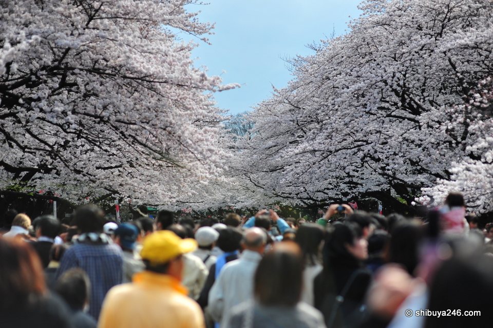 The sakura trees seem to come together to form a sea of cherry blossoms.