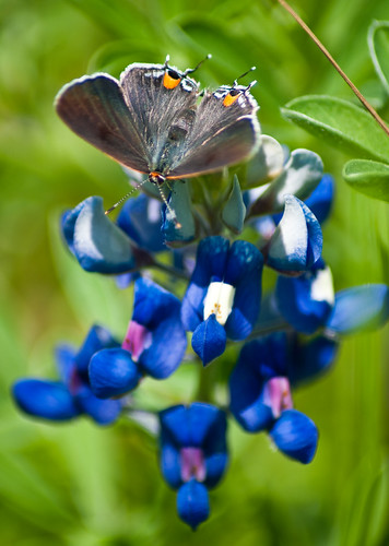 bluebonnet with Mexican Grey Hairstreak butterfly