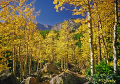 Quaking Aspens of Colorado (P. Oglesby) Tags: autumn colorado 1998 1001nights thehighlander godlovesyou rockymountainnp coth quakingaspens theunforgettablepictures platinumheartaward goldstaraward absolutelystunningscapes bierstadtlaketrail yourwonderland coth5 1001nightsmagiccity