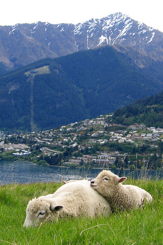 IMG_0877-w Sheep at Queenstown
