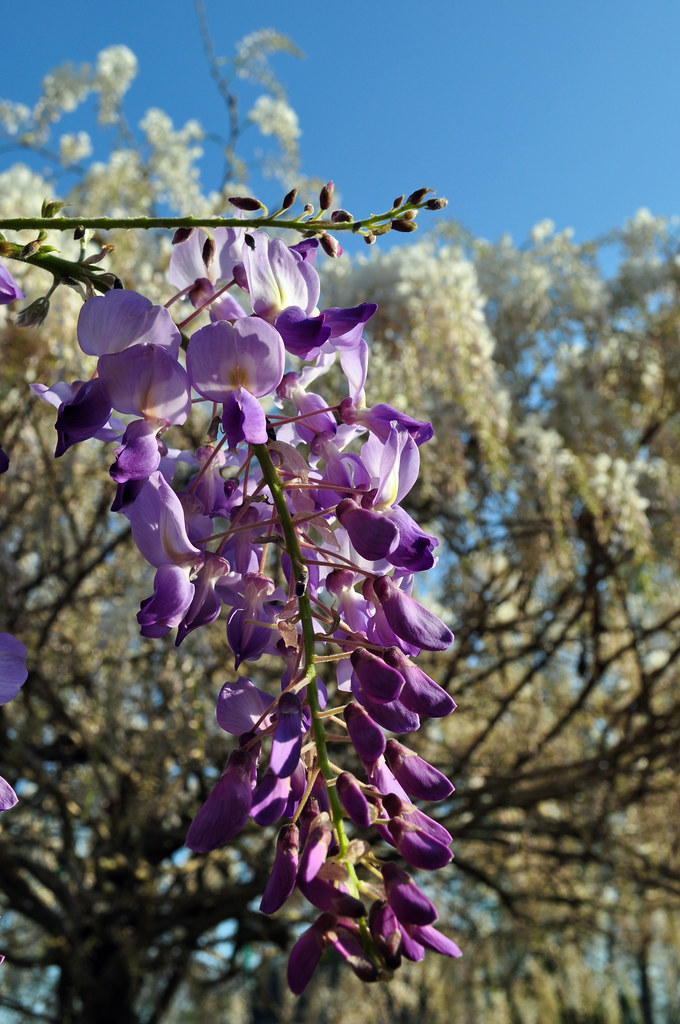 Wisteria floribunda 'Texas Purple' (4)
