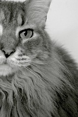Lily (Ty Johnson Photography) Tags: portrait blackandwhite bw cat feline bestofcats boc1110