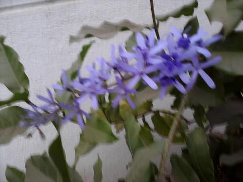 6. Krishnagaru flower 1 srip